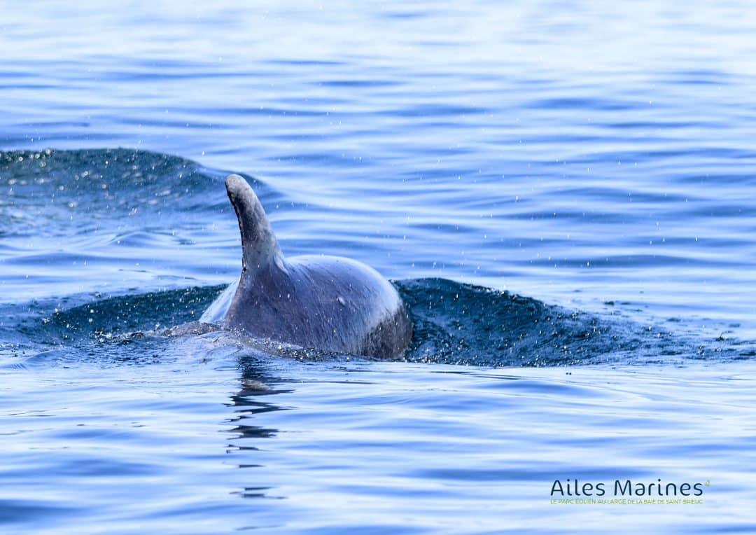 ailes-marines-dauphin-de-dos