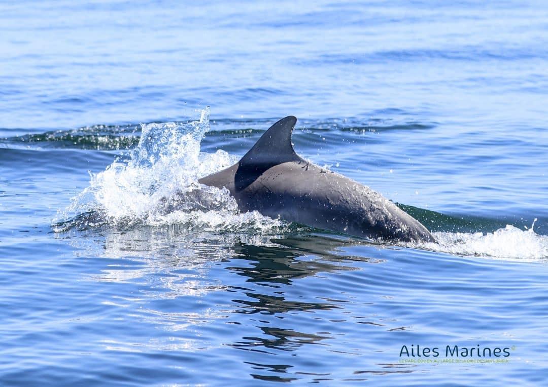 ailes-marines-dauphin-de-profil-aileron