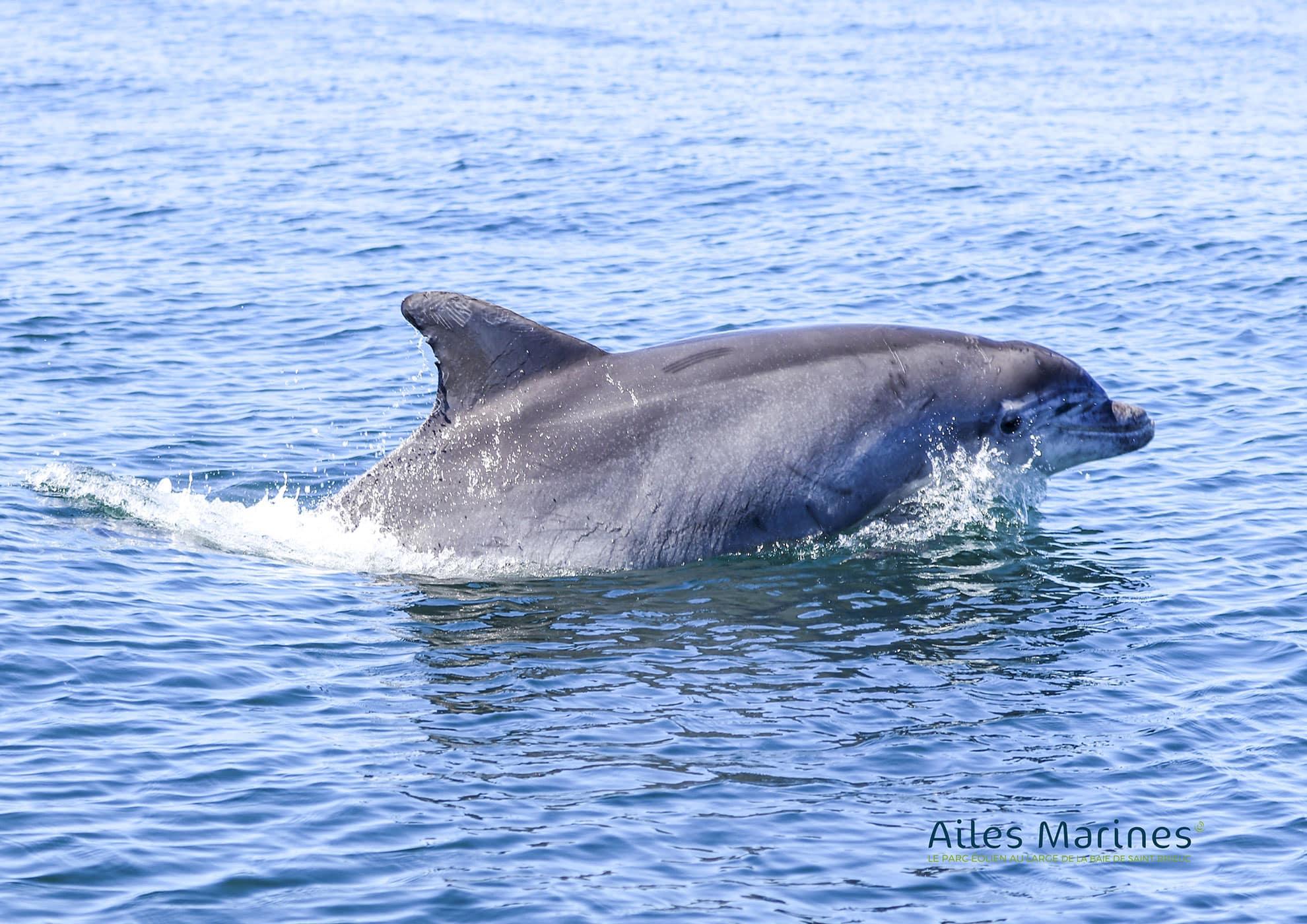 ailes-marines-dauphin-sautant-hors-de-l-eau