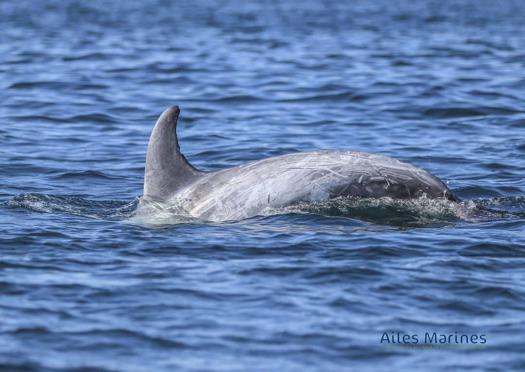 ailes-marines-dauphin-sortant-de-l-eau