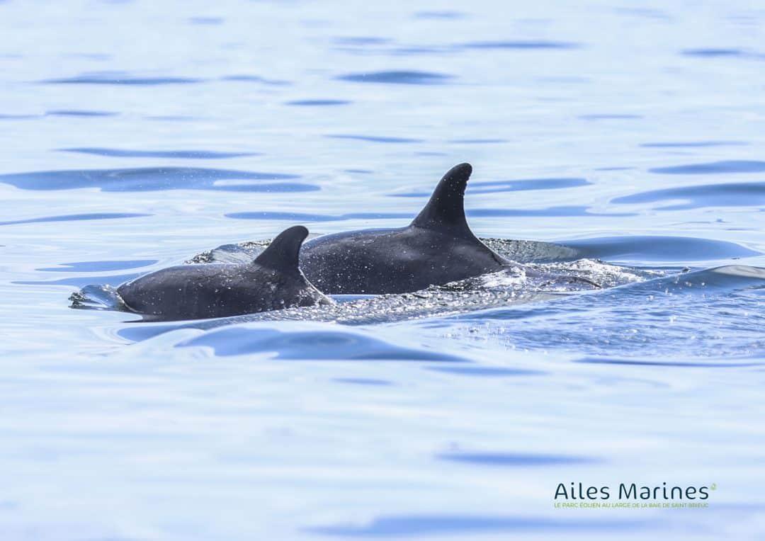 ailes-marines-dauphins