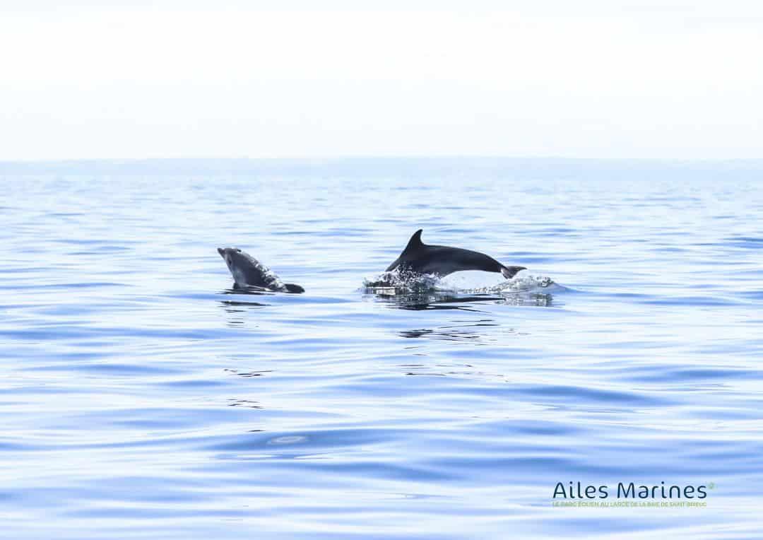 ailes-marines-deux-dauphins-sautant