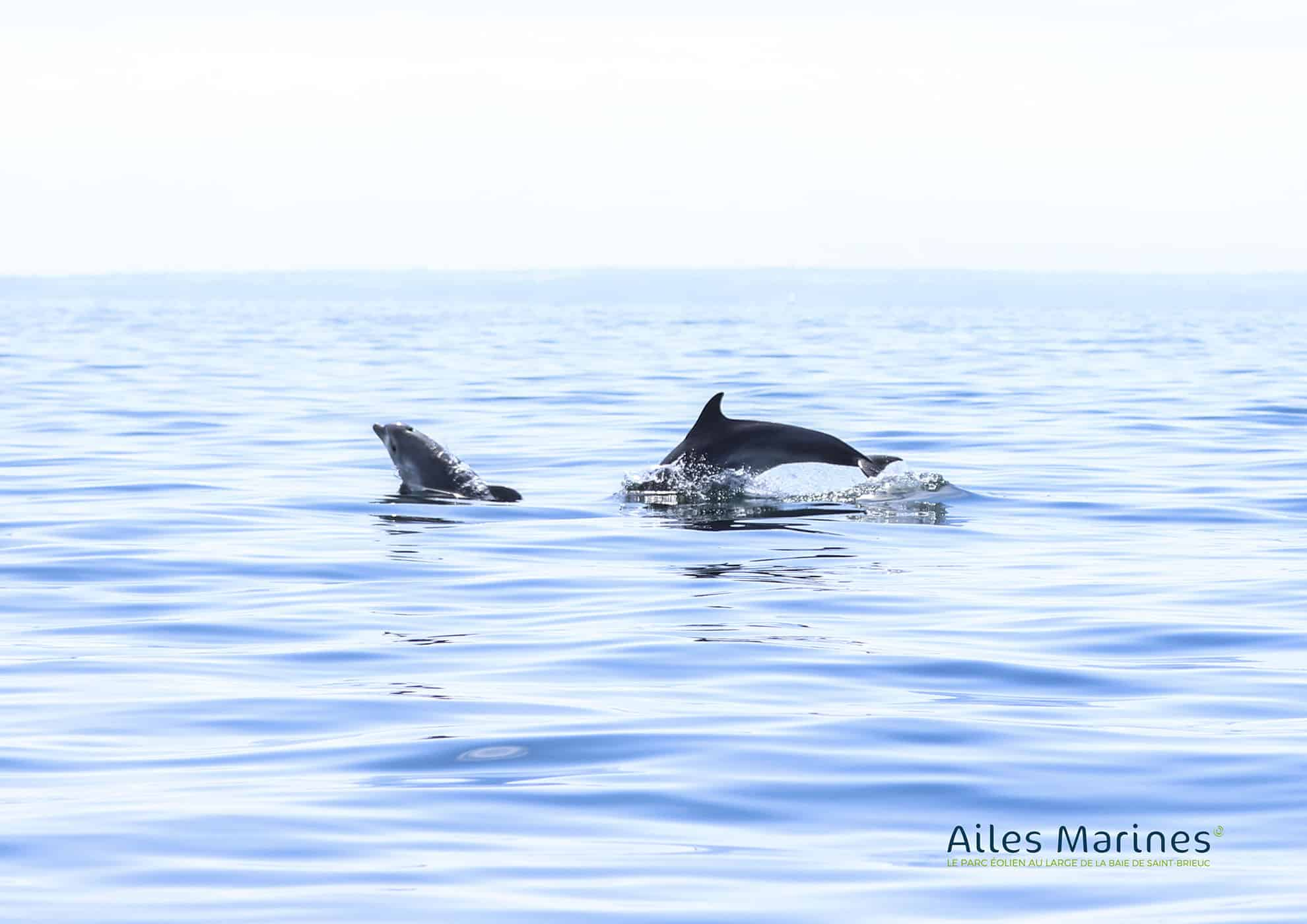 ailes-marines-sea-dolphins-jumping