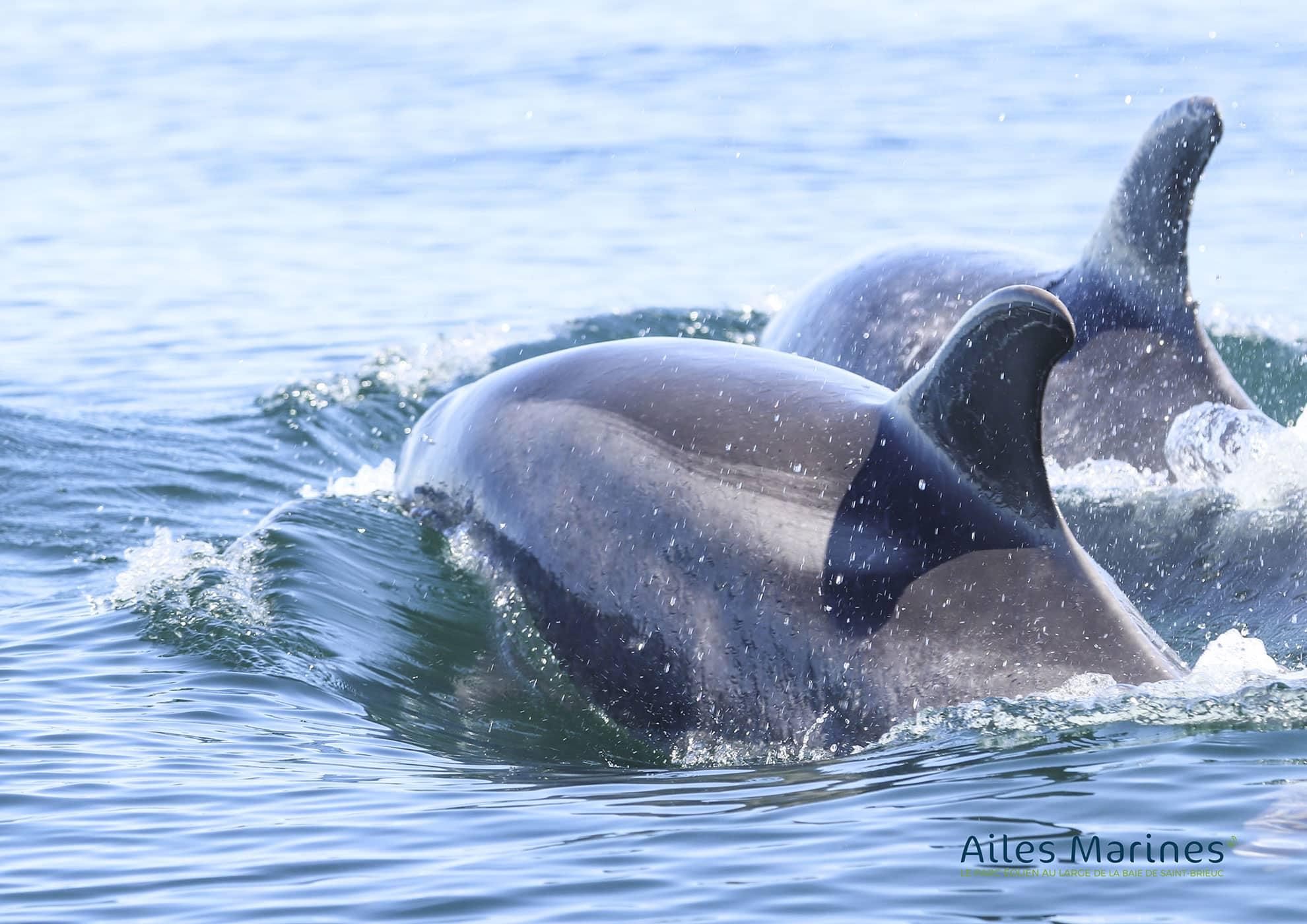 ailes-marines-deux-dauphins