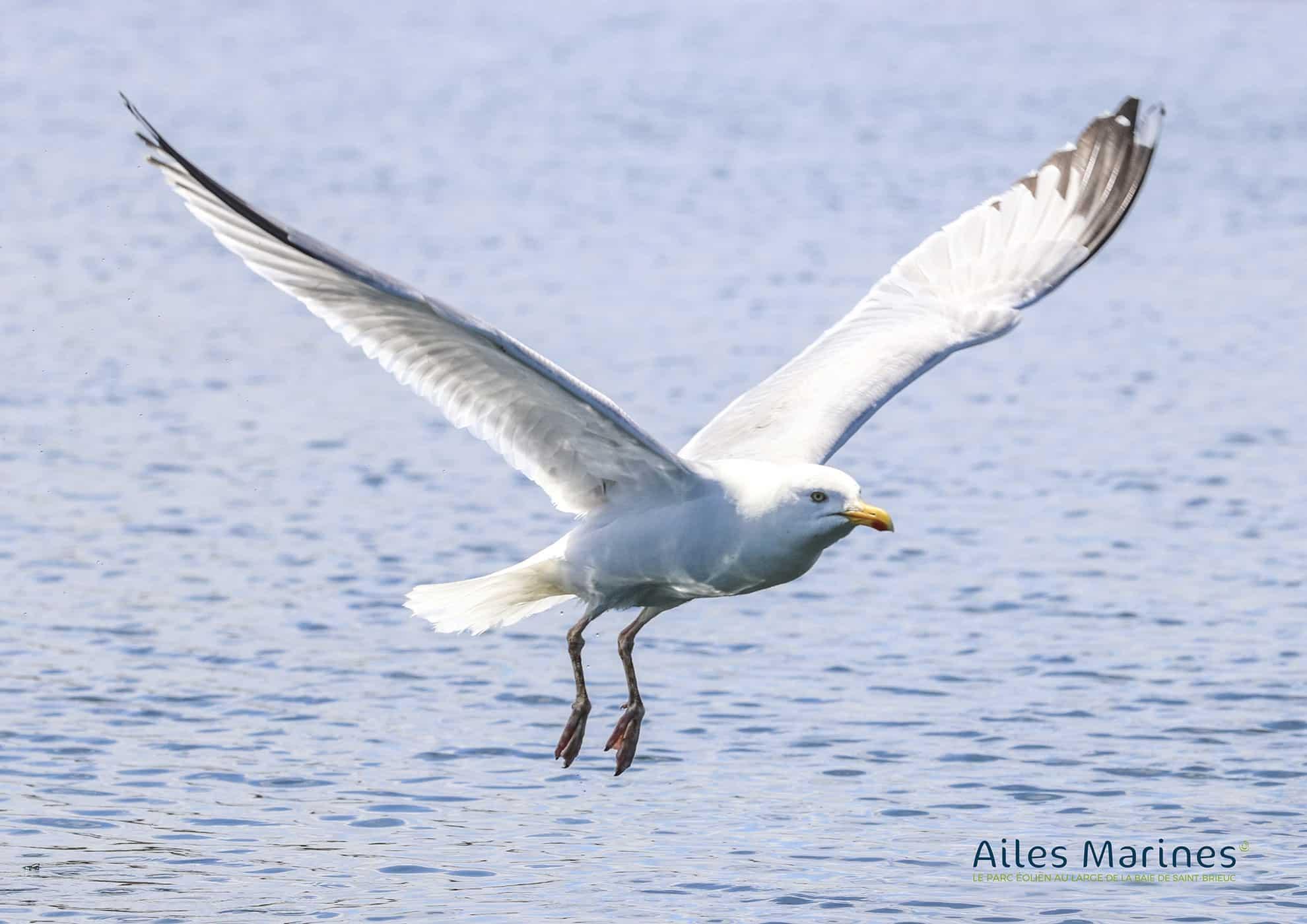 ailes-marines-goeland-adult-silver-in-flight