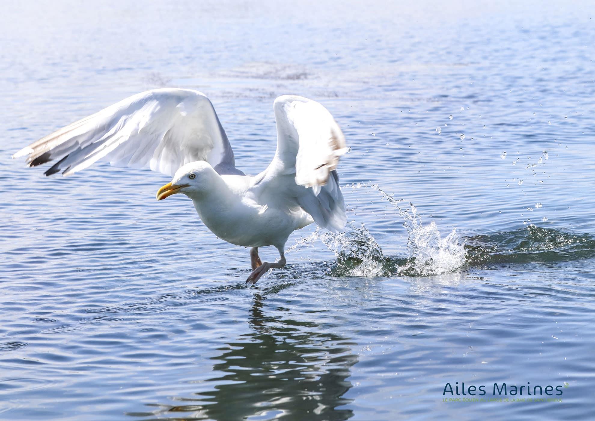 ailes-marines-goeland-adult-silver-flying