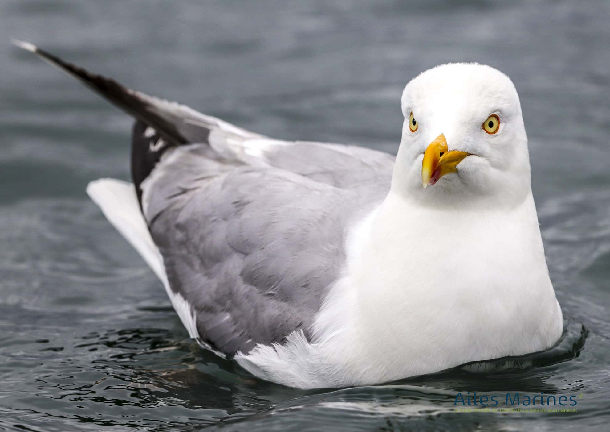 ailes-marines-goeland-adulte-argente