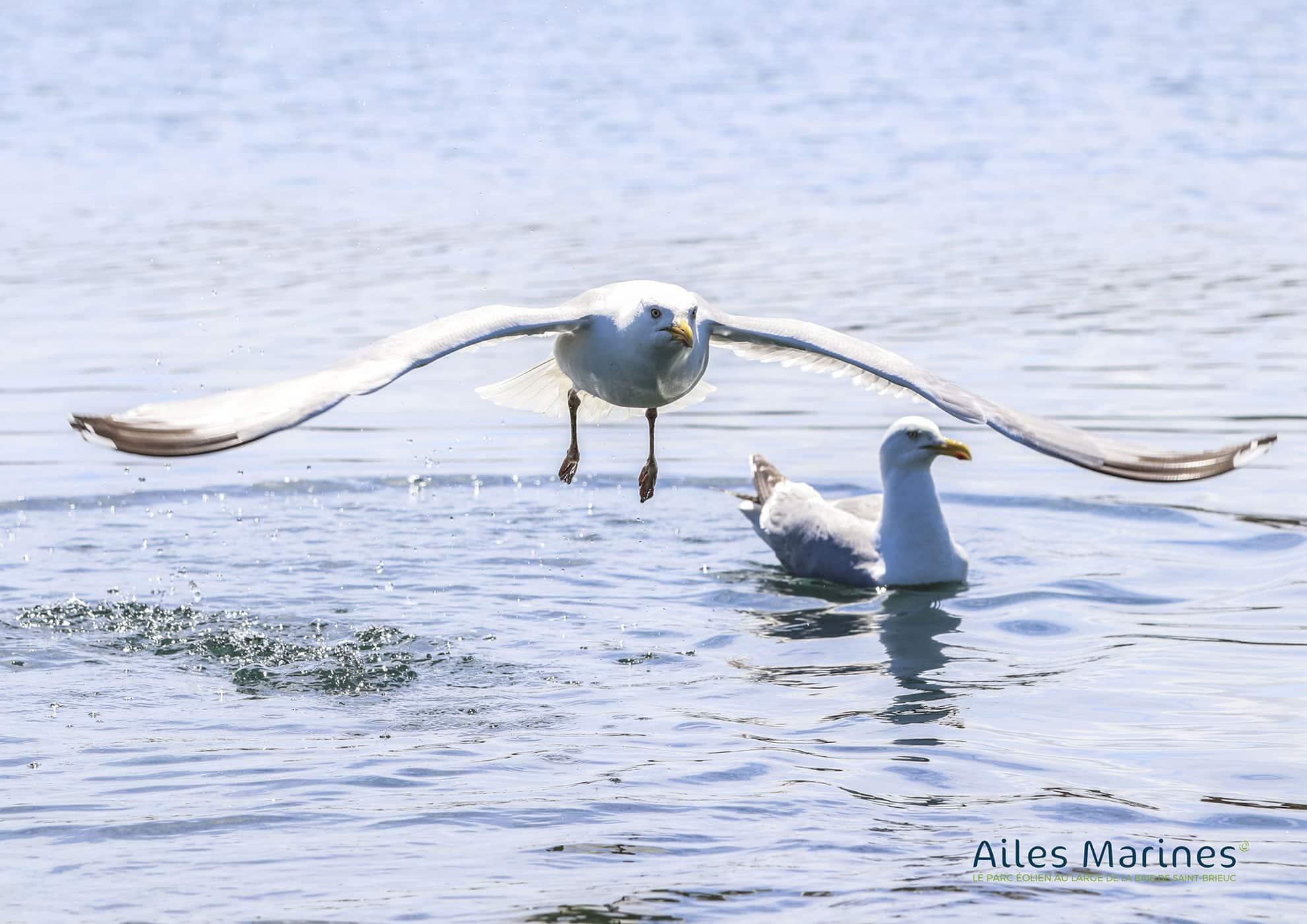 ailes-marines-goeland-adult-flight