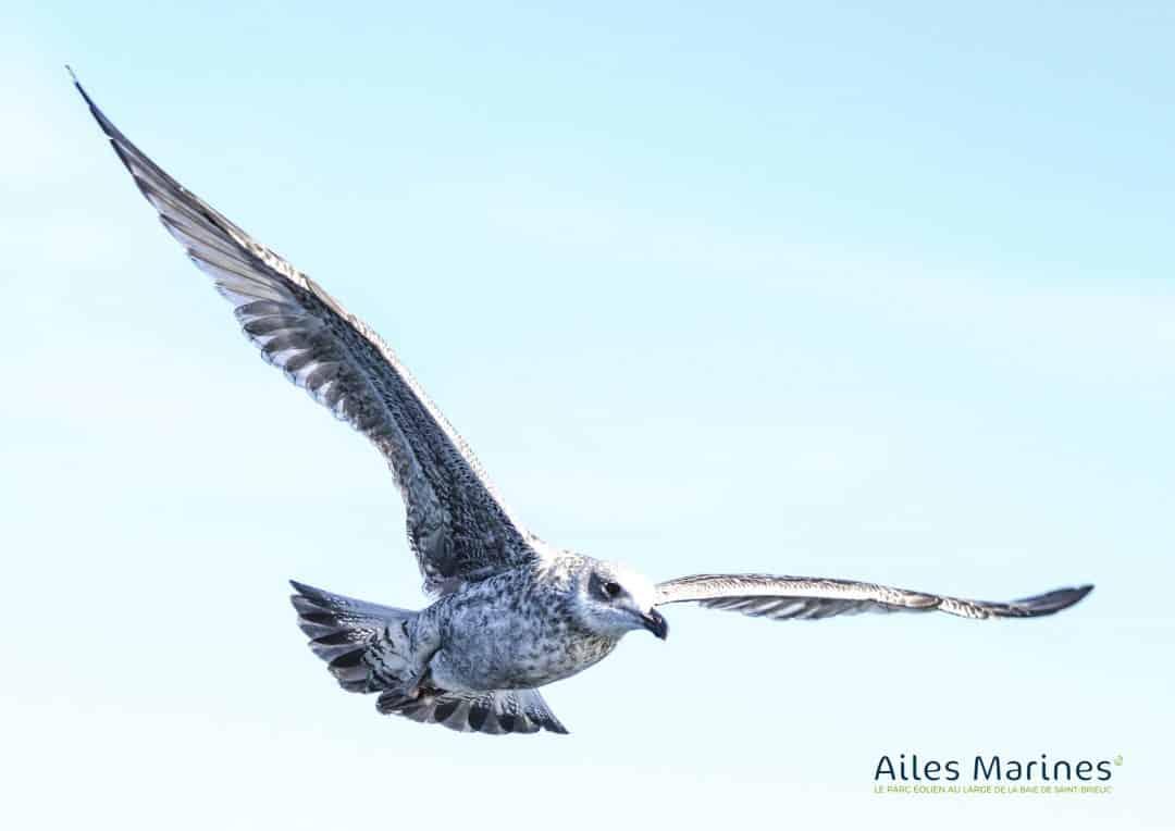 ailes-marines-goeland-juvenile-argente-en-vol