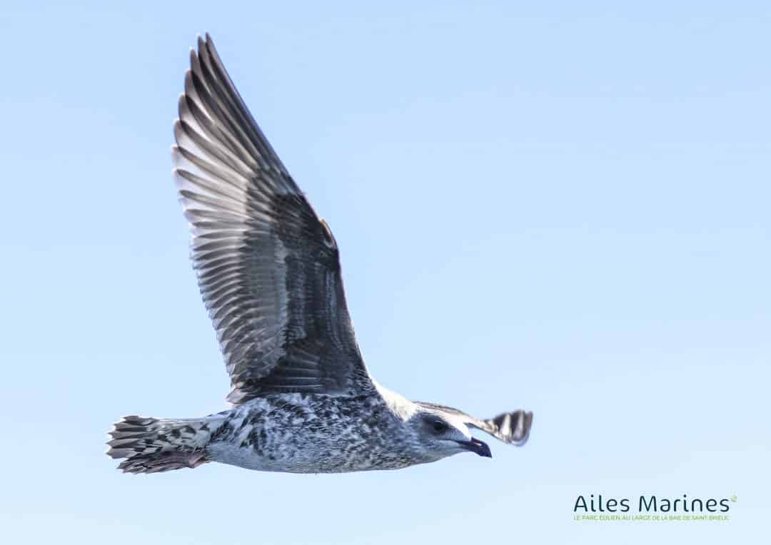 ailes-marines-goeland-juvenile-argente-en-vol-de-profil