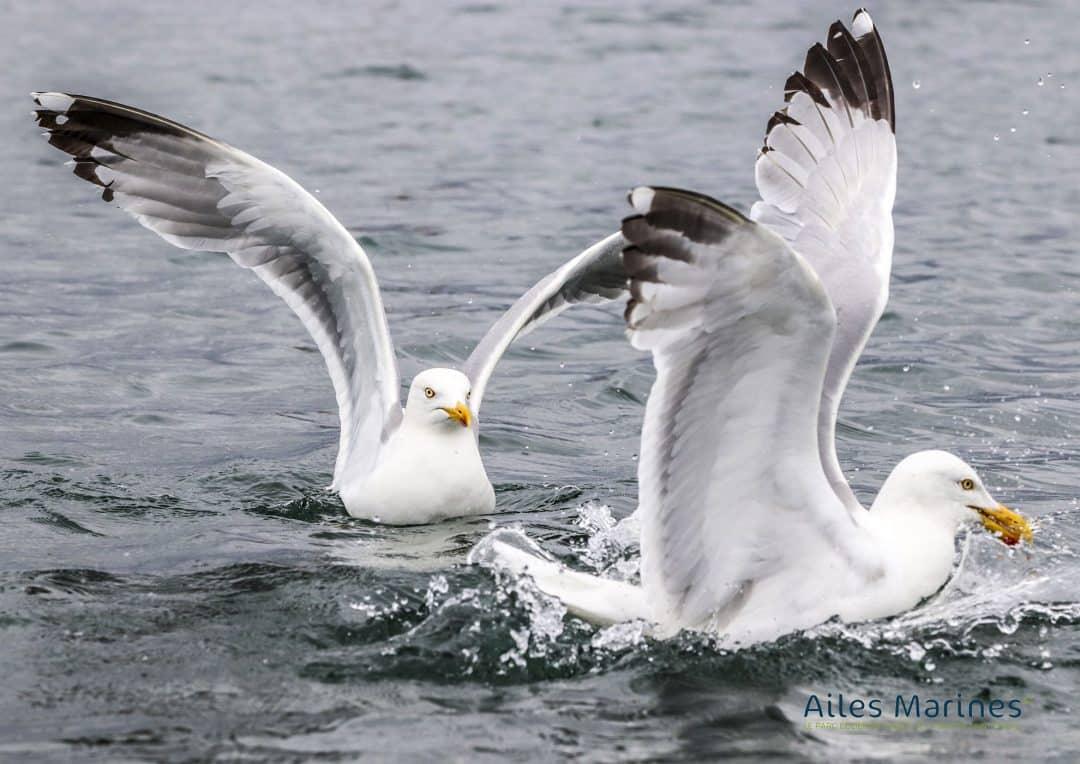 ailes-marines-goelands-adultes-argentes