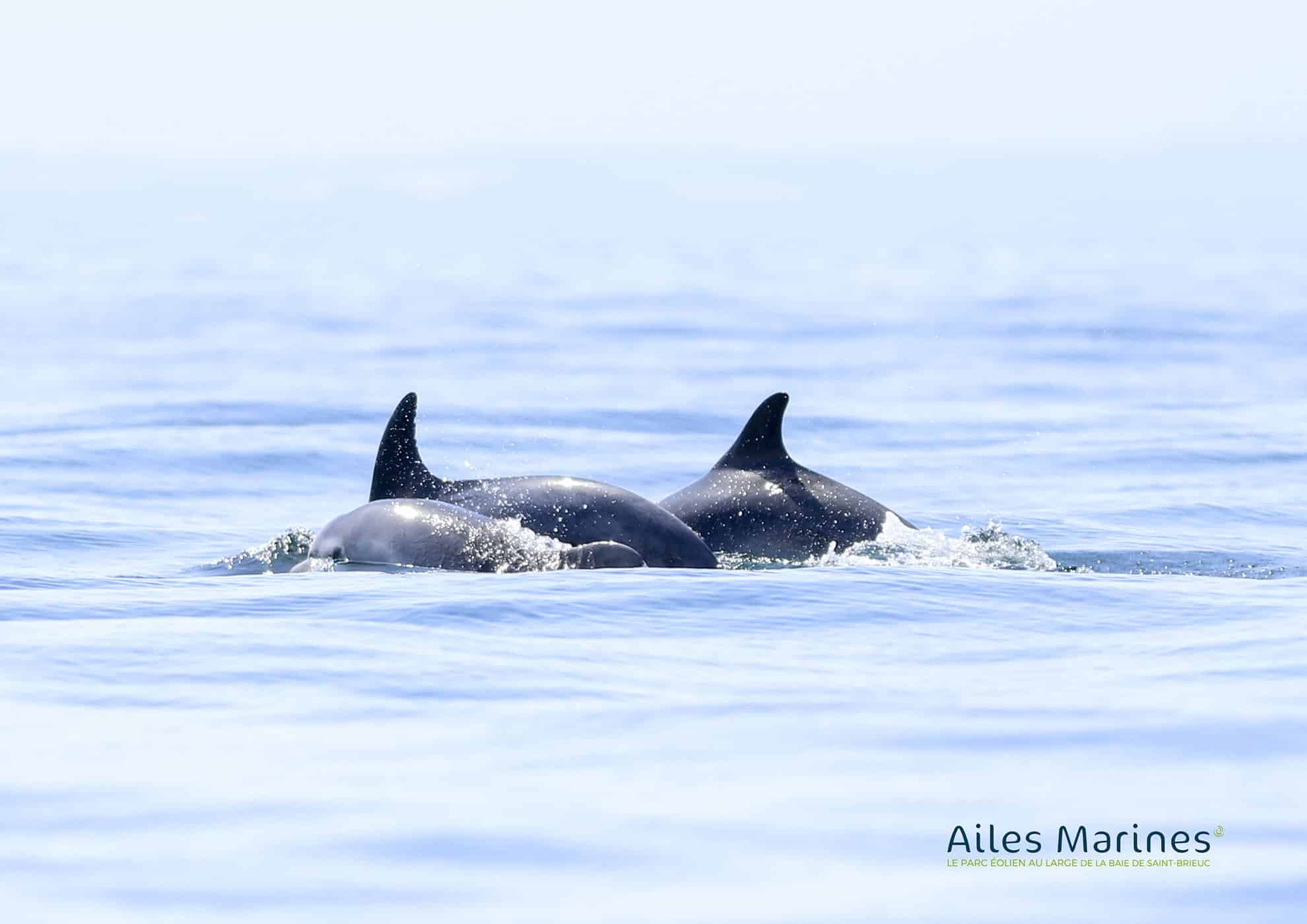 ailes-marines-groupe-de-dauphins