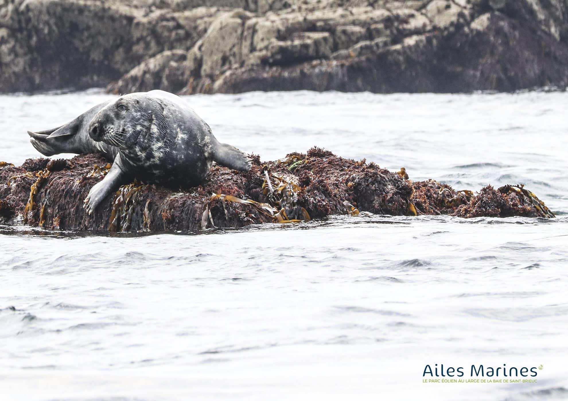 ailes-marines-phoque-sur-rocher-et-algue