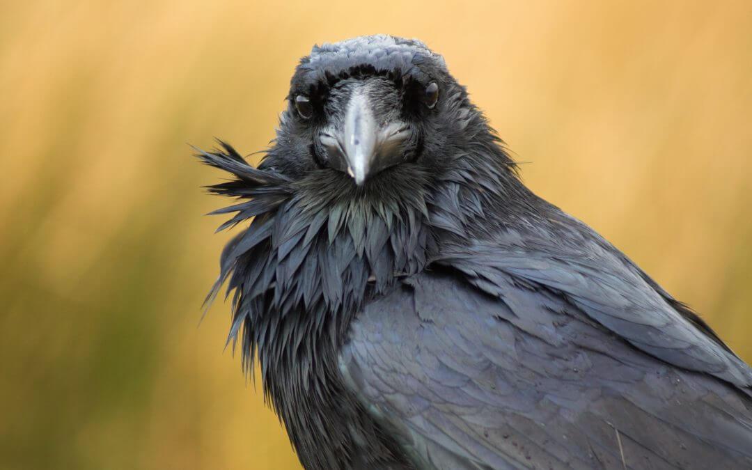 Lutte contre la prédation des oiseaux marins par les corneilles noires