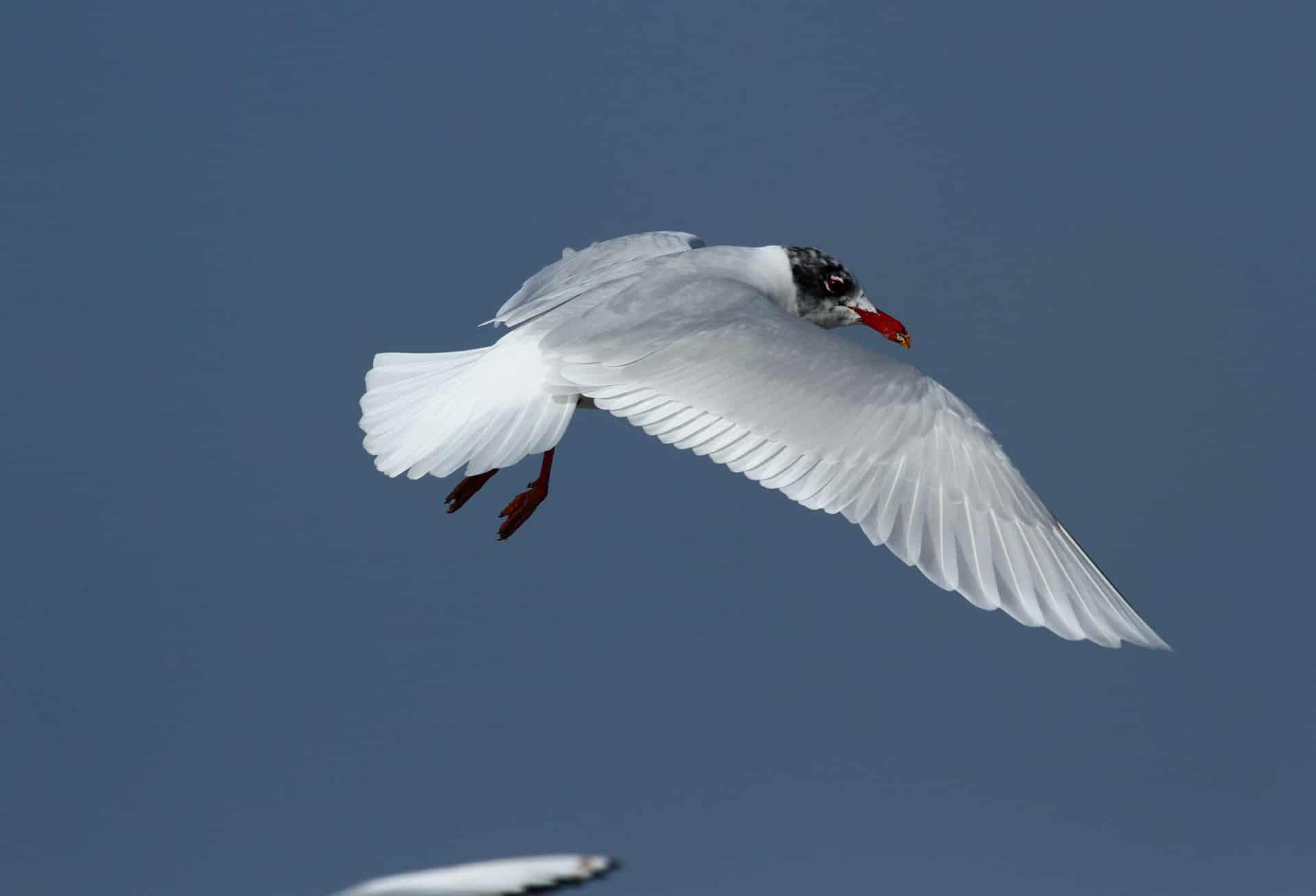 seagull-melanocephalus