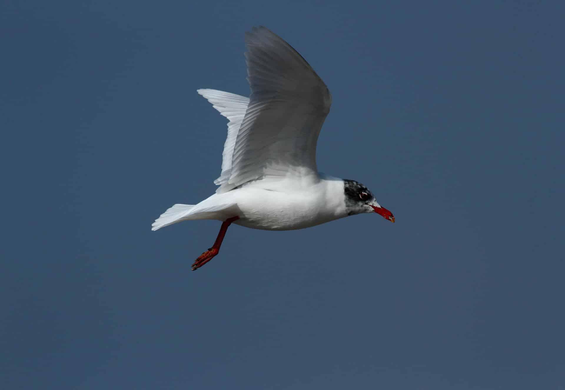 seagull-melanocephale-2