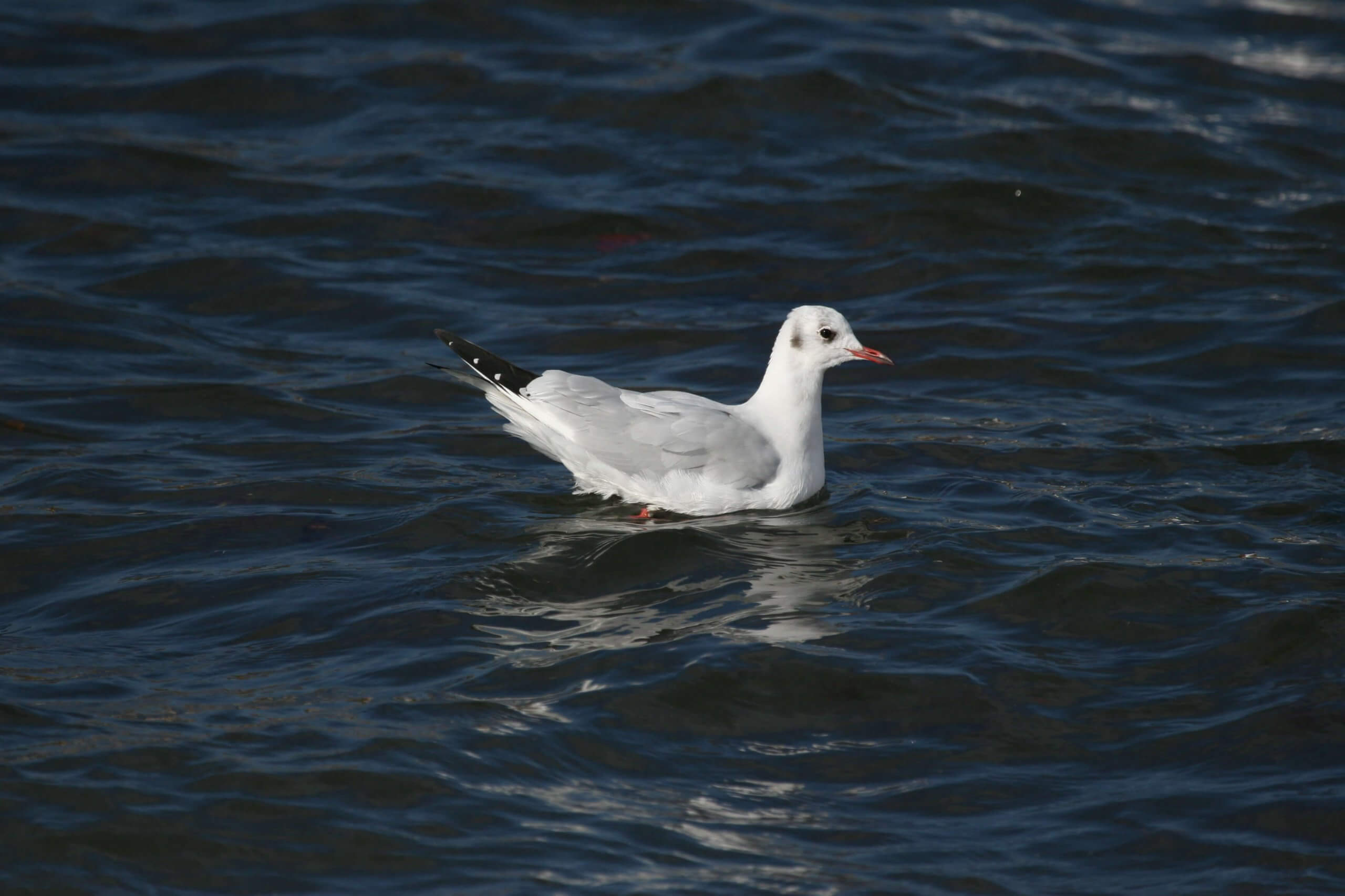 mouette-rieuse-1