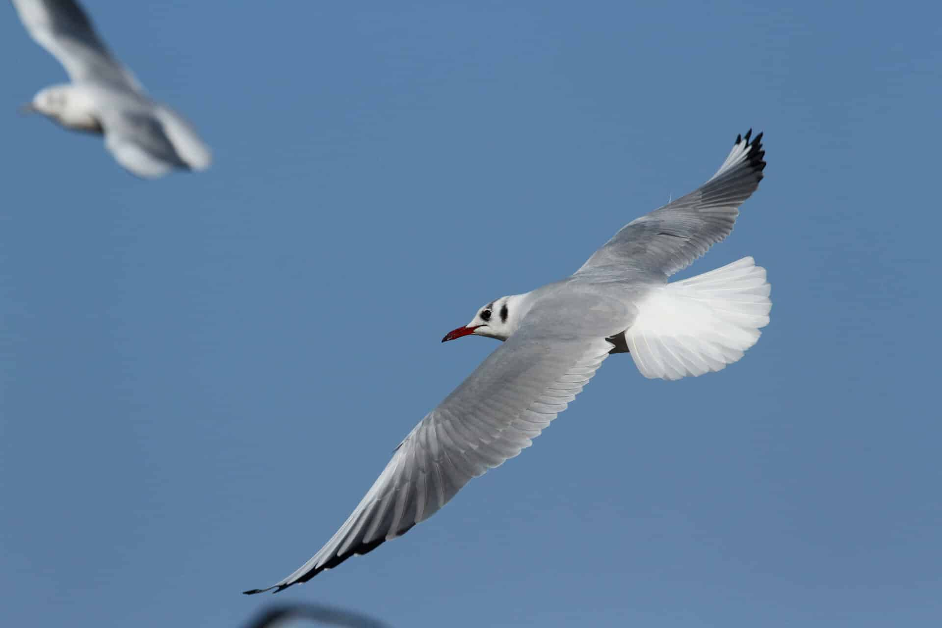 mouette-rieuse-3