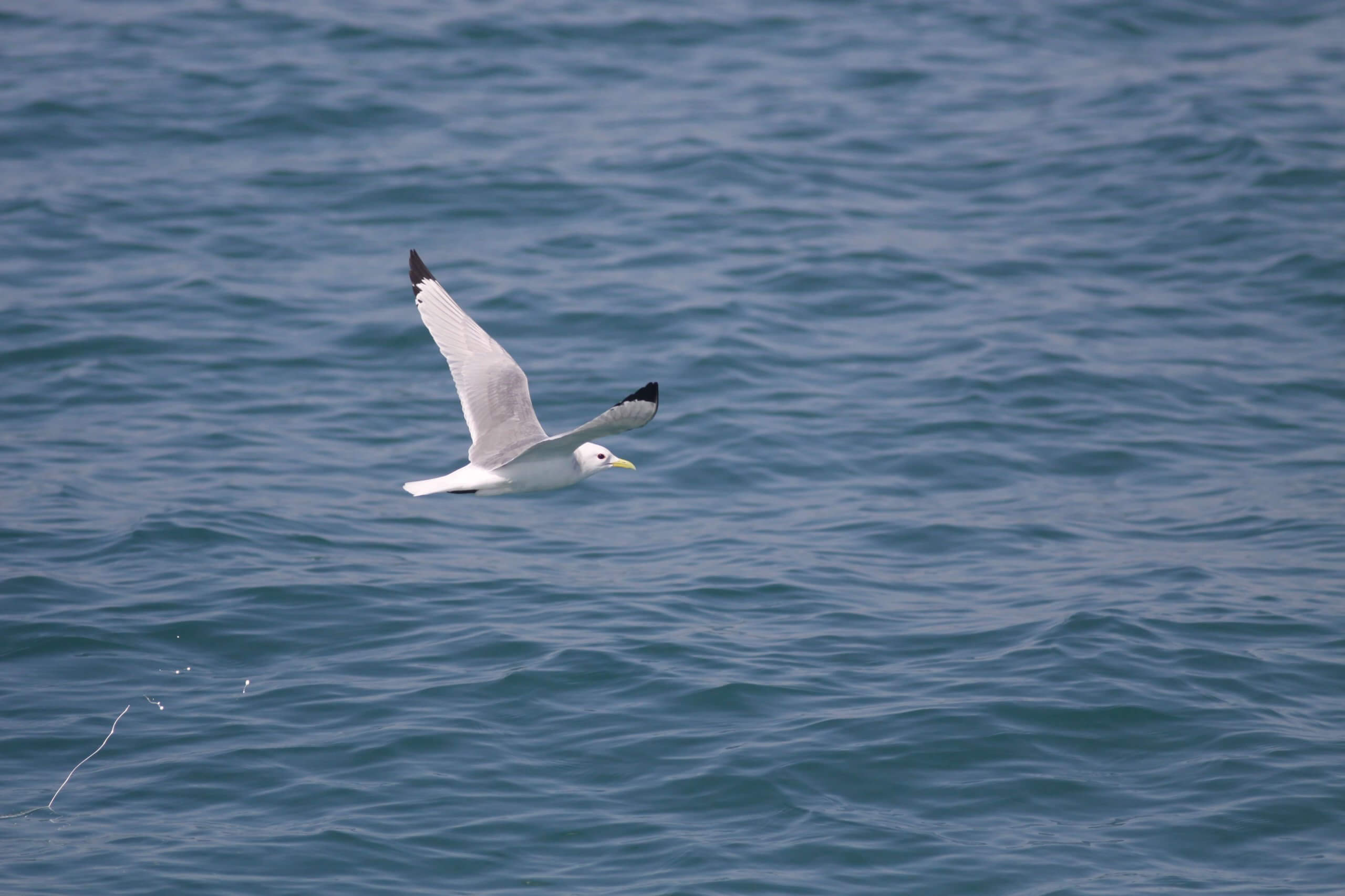 mouette-tridactyle-1