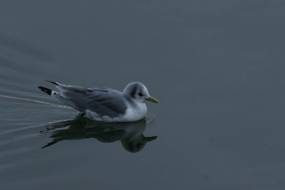 mouette-tridactyle-2