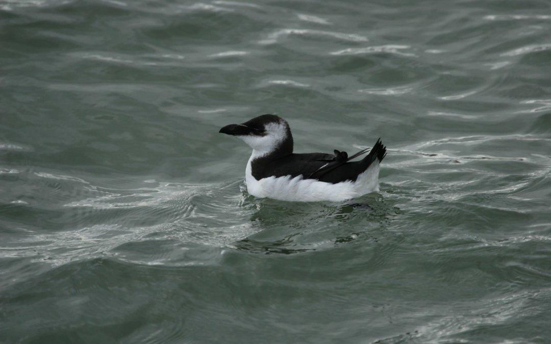 Pingouin torda 2