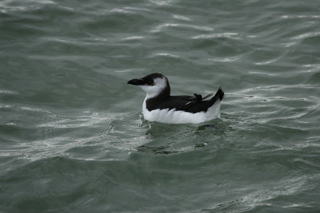 pingouin-torda-2