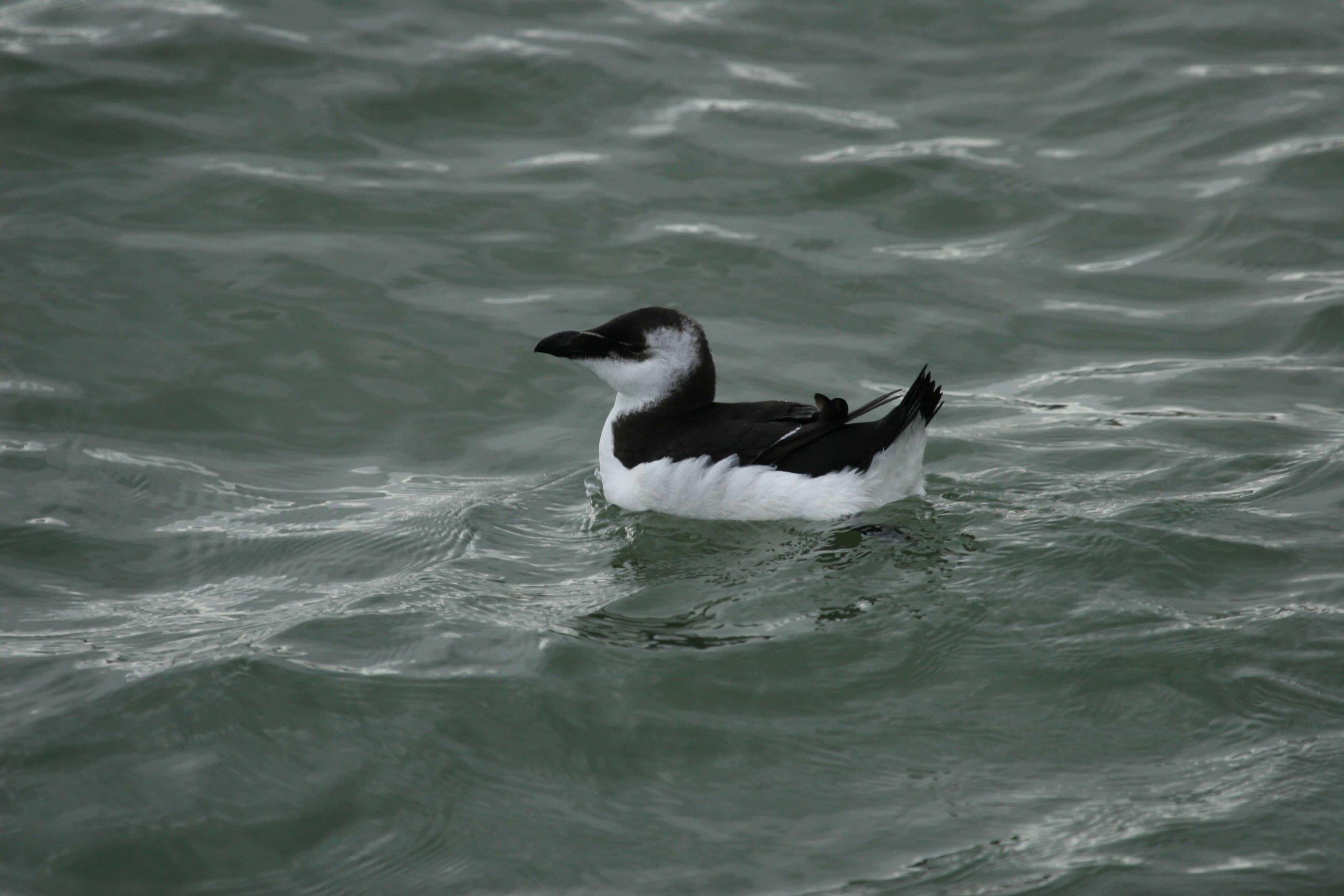 torda-2 penguin