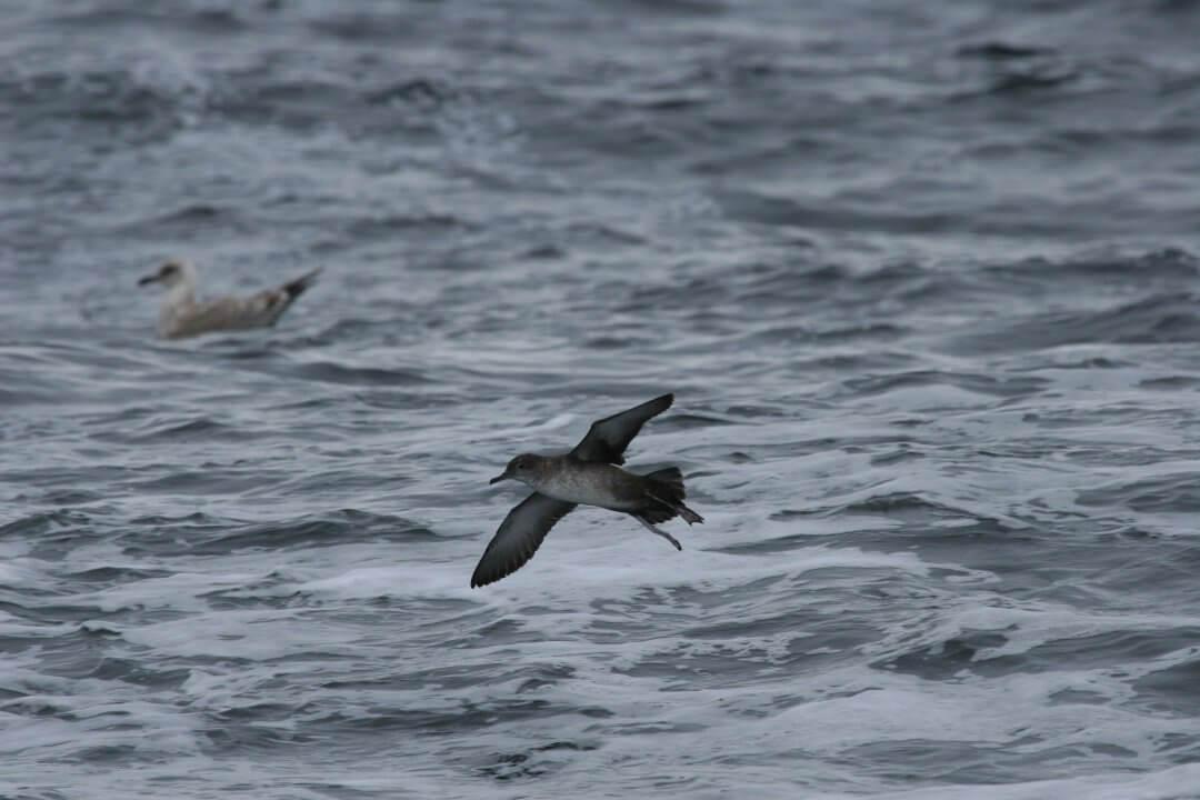 puffin-des-baleares-1