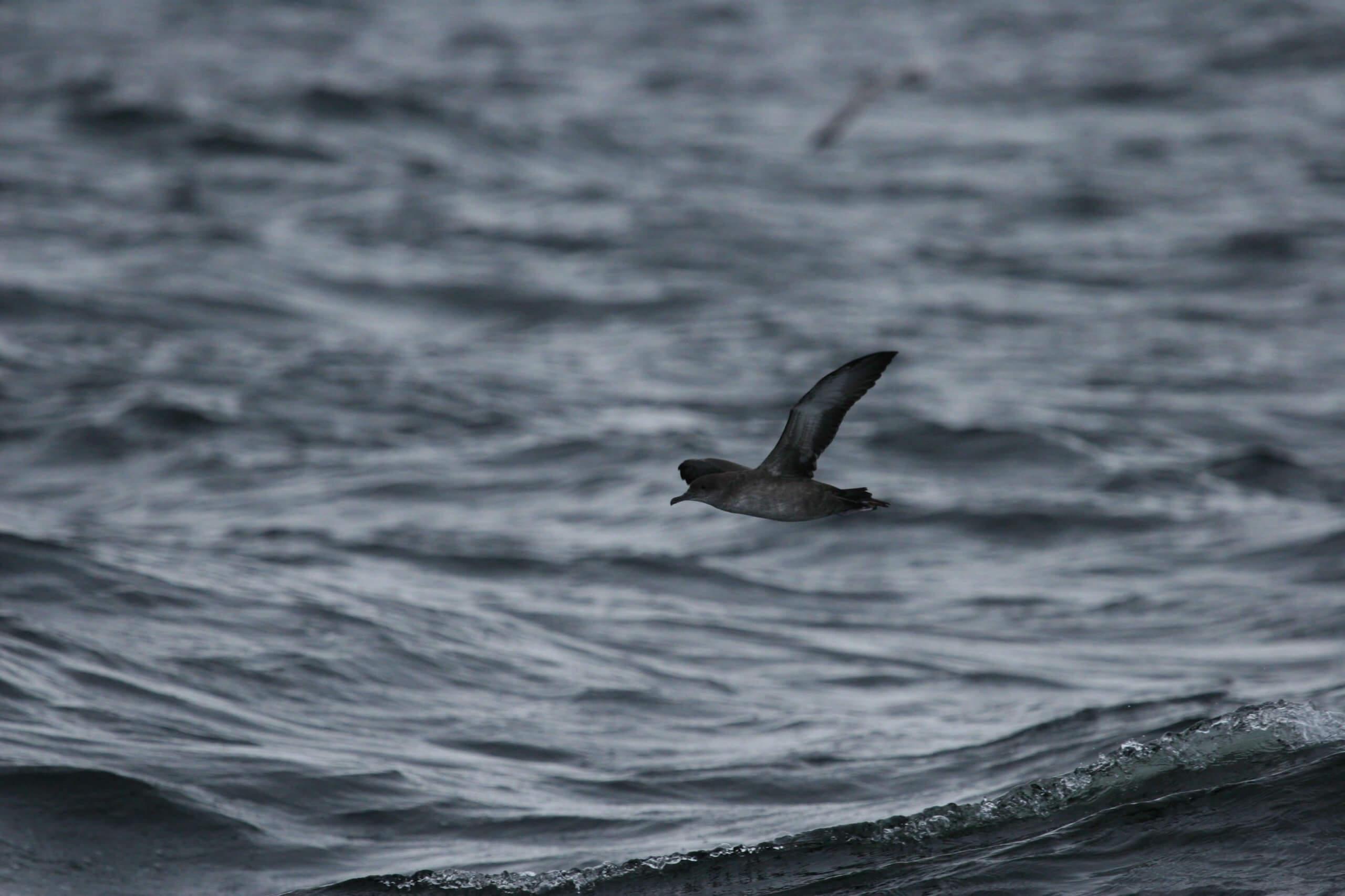 puffin-des-baleares-2