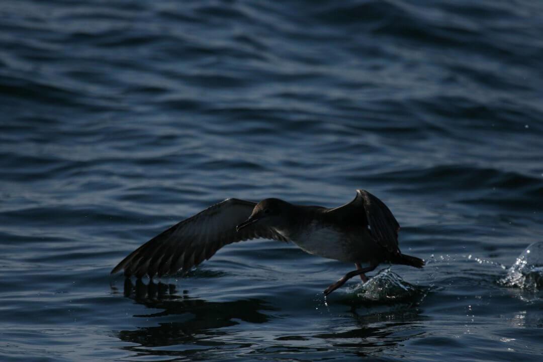 puffin-des-baleares-3
