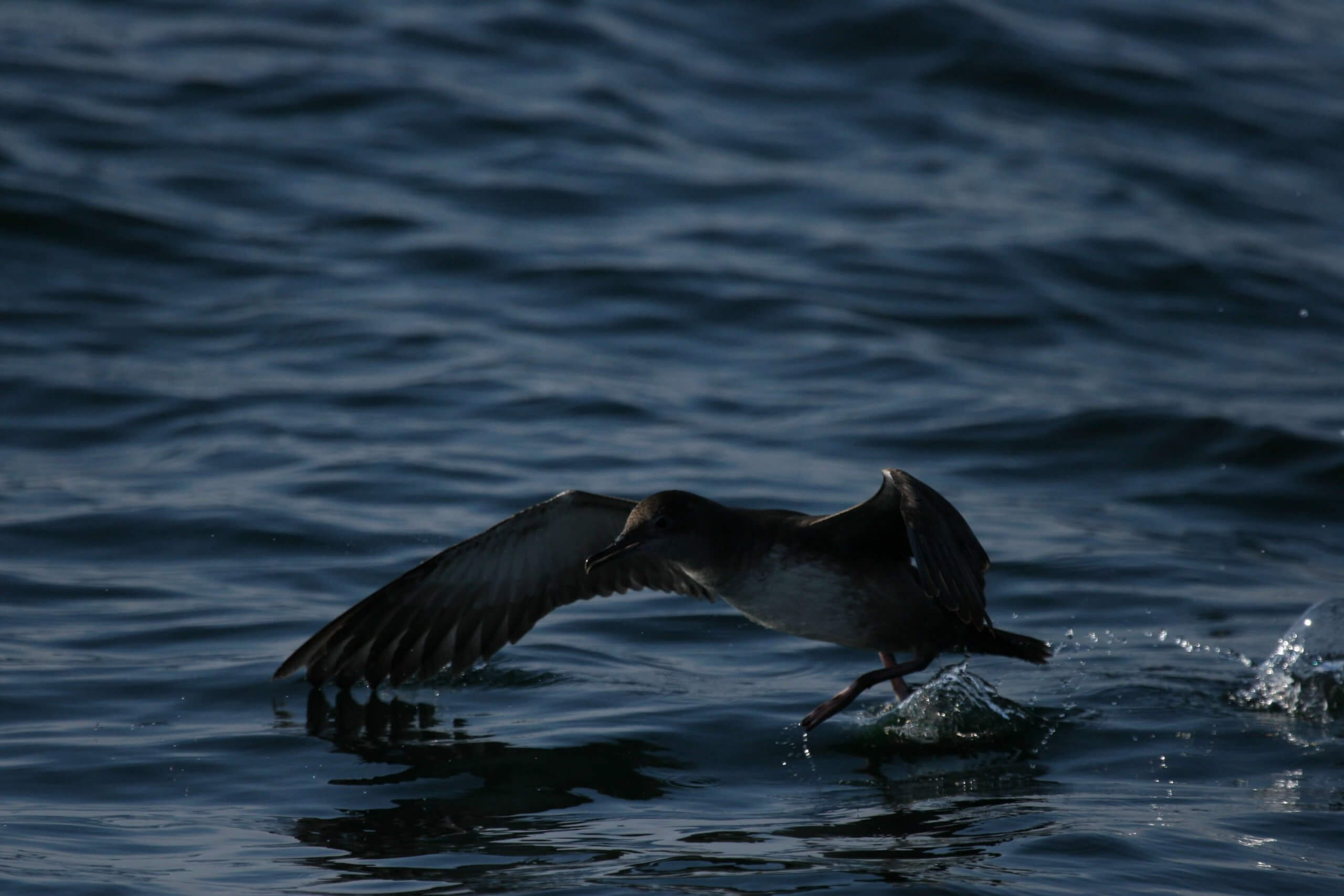 Whale Shearwater-3