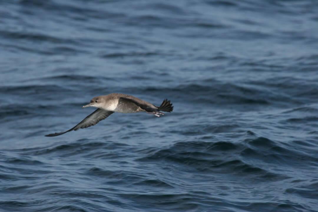 puffin-des-baleares-4