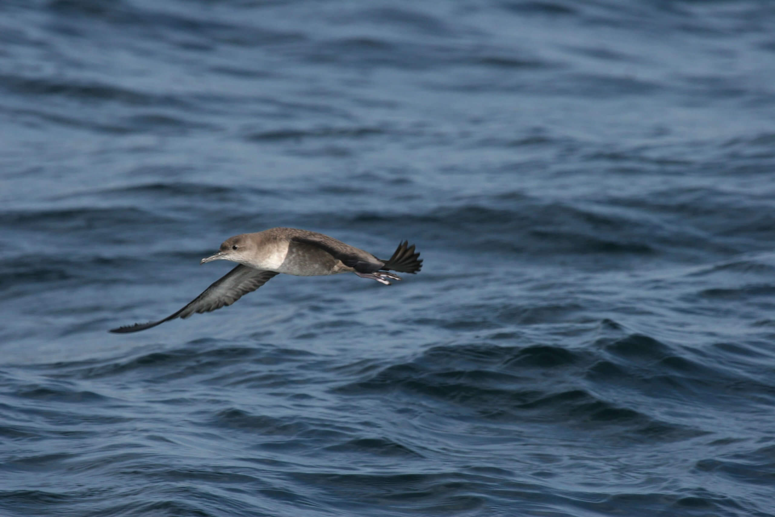 Whale Shearwater-4